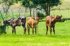 Becerro Animlas del ganado Fotos de archivo