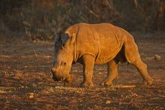 Becerro blanco del rinoceronte Foto de archivo libre de regalías