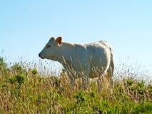 Becerro blanco en campo el primavera imagenes de archivo