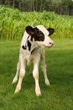 Becerro blanco y negro de Holstein Fotos de archivo
