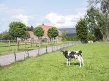 Becerro blanco y negro delante de la granja holandesa en el veenendaal cercano holandés Foto de archivo libre de regalías