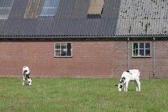 Becerro blanco y negro delante de la granja holandesa en el veenendaal cercano holandés Imágenes de archivo libres de regalías