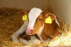 Becerro con el sello para la oreja amarillo foto de archivo libre de regalías