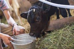 Becerro, cultivando, vacas crecientes, leche de consumo del becerro, granja, en granja Imágenes de archivo libres de regalías