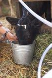 Becerro, cultivando, vacas crecientes, leche de consumo del becerro, granja, en granja Fotos de archivo libres de regalías