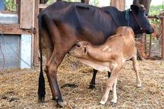 Becerro de alimentación de la vaca de la madre Fotografía de archivo libre de regalías