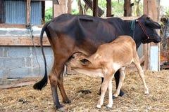 Becerro de alimentación de la vaca de la madre Foto de archivo libre de regalías