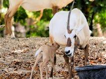 Becerro de alimentación del oryx árabe en parque zoológico Imagen de archivo libre de regalías