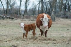 Becerro de Hereford y vaca de Hereford foto de archivo