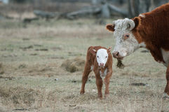 Becerro de Hereford y vaca de Hereford fotografía de archivo libre de regalías