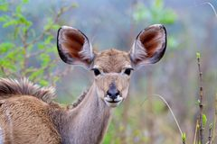 Becerro de Kudu Imagenes de archivo