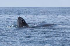 Becerro de la ballena jorobada que emerge del océano Imágenes de archivo libres de regalías