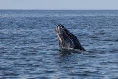 Becerro de la ballena jorobada que emerge del océano Imagen de archivo