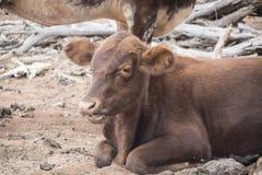 Becerro de la carne de vaca Imagenes de archivo