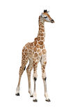 Becerro de la jirafa en blanco foto de archivo libre de regalías