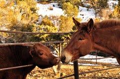 Becerro de la mula y de la novilla que se saluda a través de una cerca Imagen de archivo