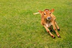 Becerro de la vaca que salta y junning en tierra en día soleado fotografía de archivo