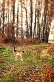 Becerro de los ciervos en barbecho (Dama) que camina solamente en un la más forrest en el amanecer Foto de archivo