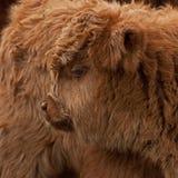 Becerro de tres semanas del ganado de la montaña Imágenes de archivo libres de regalías