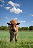 Becerro del búfalo Imágenes de archivo libres de regalías