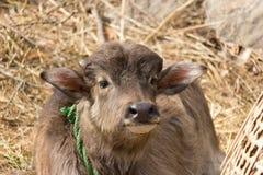 Becerro del búfalo Fotografía de archivo libre de regalías