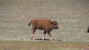 Becerro del bisonte metrajes