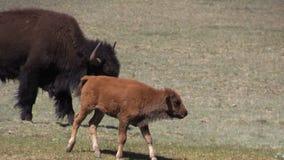 Becerro del bisonte almacen de video