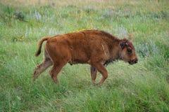 Becerro del bisonte fotos de archivo libres de regalías