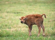 Becerro del bisonte del búfalo en pasto verde Fotografía de archivo libre de regalías
