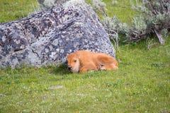 Becerro del bisonte que coloca en hierba verde al lado de roca gris grande Foto de archivo libre de regalías