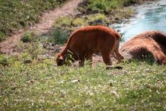 Becerro del bisonte que pasta en hierba en el fuerte Wayne Indiana fotos de archivo libres de regalías