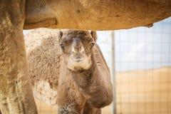 Becerro del camello en Wahiba Omán Imágenes de archivo libres de regalías