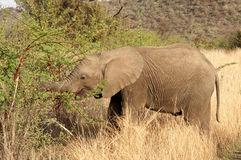 Becerro del elefante Fotografía de archivo