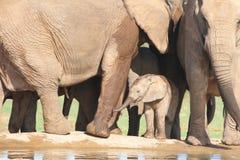 Becerro del elefante africano entre las piernas de los adultos Fotografía de archivo libre de regalías