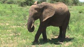 Becerro del elefante africano que pasta con su madre en prado metrajes