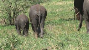 Becerro del elefante africano que pasta con su madre en prado almacen de metraje de vídeo