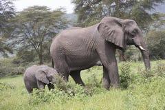 Becerro del elefante con el adulto, cráter de Ngorongoro, Tanzania Foto de archivo libre de regalías