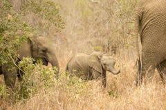 Becerro del elefante en familia Fotografía de archivo libre de regalías