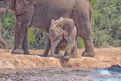 Becerro del elefante que intenta subir abajo al agua Fotos de archivo