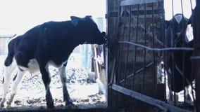 Becerro del granero Vacas en la granja rusa almacen de metraje de vídeo