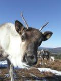 Becerro del reno en Escocia Foto de archivo libre de regalías