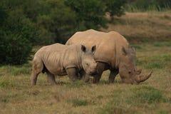 Becerro del rinoceronte con su madre Fotos de archivo libres de regalías