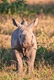 Becerro del rinoceronte en hierba verde de la naturaleza Foto de archivo libre de regalías