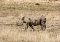 Becerro del rinoceronte negro Foto de archivo libre de regalías
