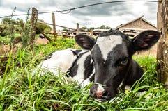 Becerro en la hierba Foto de archivo libre de regalías