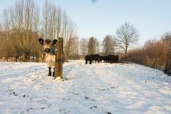 Becerro en un prado nevoso imágenes de archivo libres de regalías