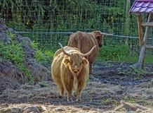 Becerro escocés de la vaca de la montaña Foto de archivo libre de regalías
