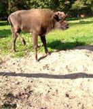Becerro europeo del bisonte Imagen de archivo