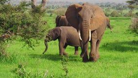 Becerro joven africano del elefante metrajes