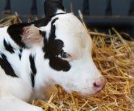 Becerro joven de la vaca Fotografía de archivo